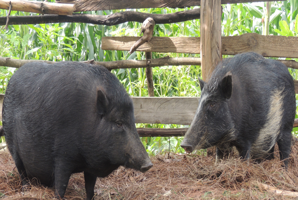 Source:© 2014 Bhutan Observer. All rights reserved http://bhutanobserver.bt/7454-bo-news-about-native_pig_conservation_is_a_success_story.aspx