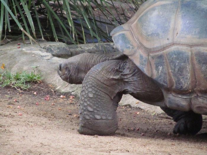 Giant Tortoise Australia Zoo