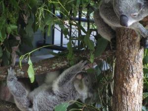 Mother and Baby Koala Australia Zoo