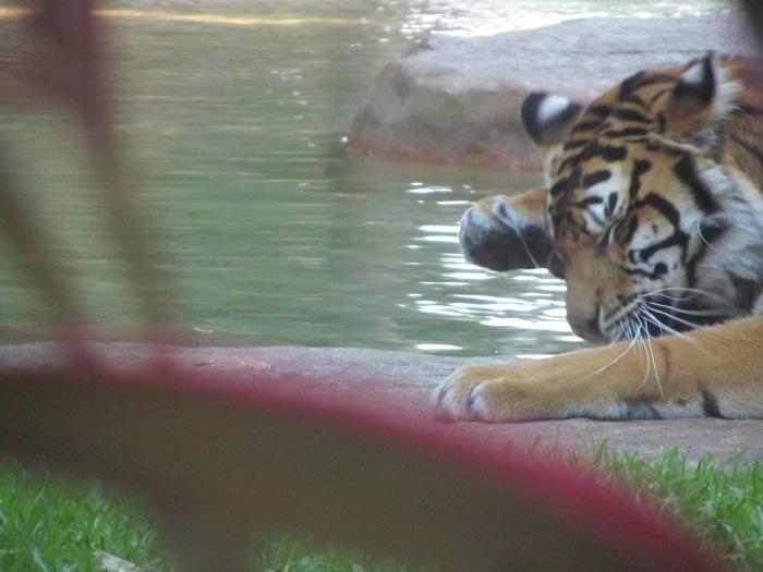 Tiger Australia Zoo